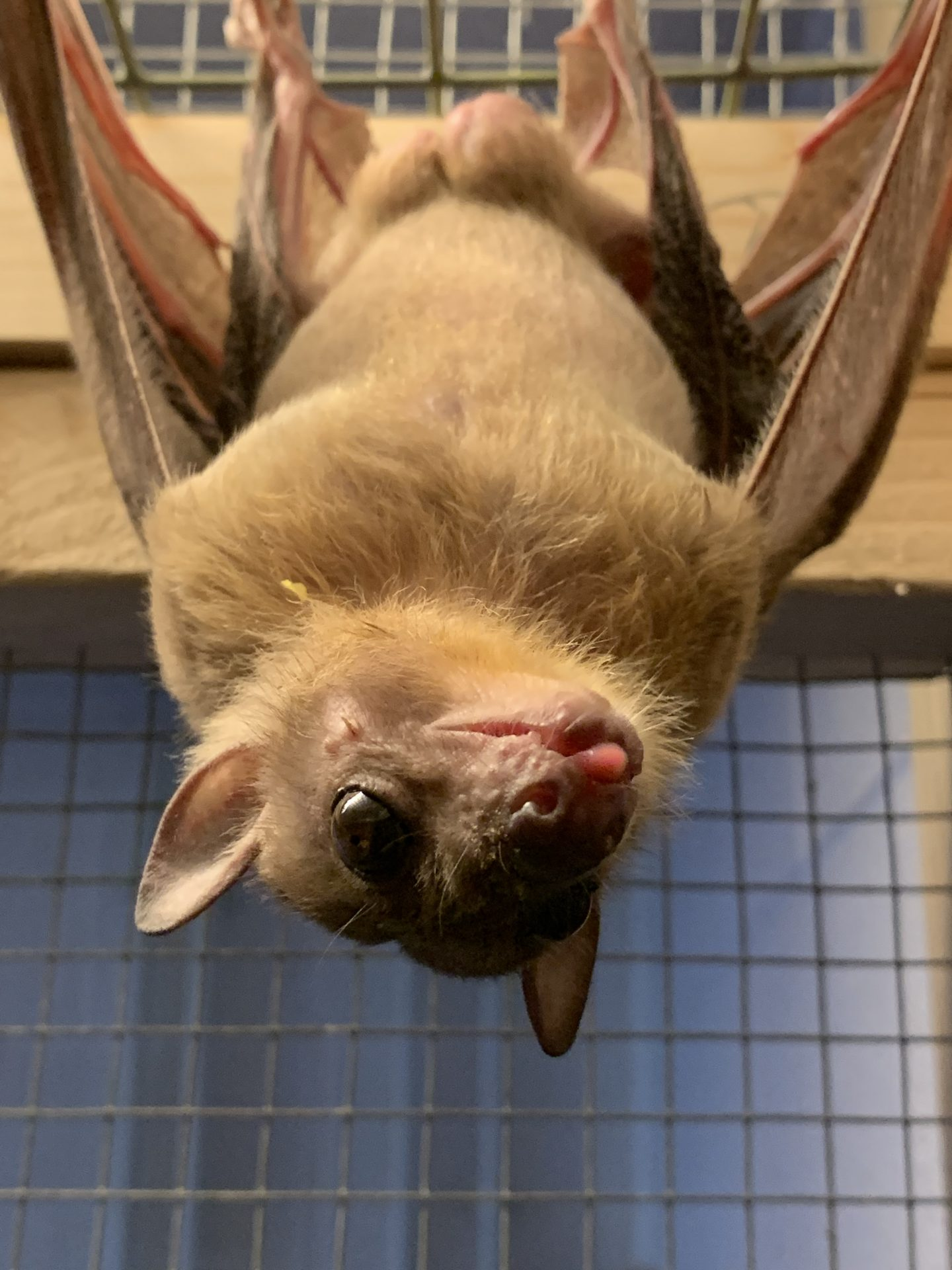 Longleat Bats find new home at Bicton College